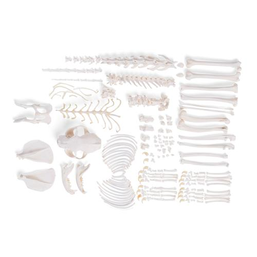 Cat Skeleton, disarticulated, 1020971 [T30028U], Evcil