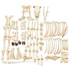 Cow Skeleton, w. Horns,  Disarticulated, 1020976 [T300121wU], osteoloji