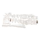 Pig skeleton, m, Disarticulated, 1020999 [T300131mU], osteoloji