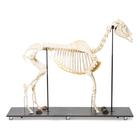 Horse skeleton, m, Articulated,T300141f