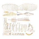 Horse skeleton, f, Disarticulated, 1021004 [T300141fU], osteoloji