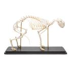 Cat Skeleton, rigidly mounted,T300281
